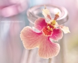 Pink-orchid